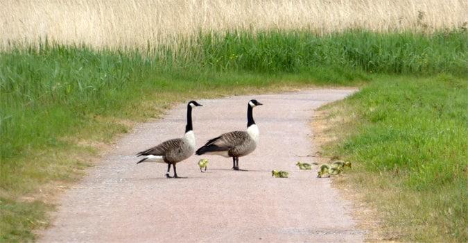 Birds choosing their own crossing